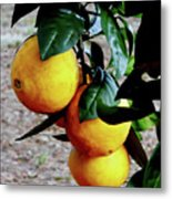 Naval Oranges On The Tree Metal Print