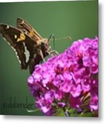 Nectaring Moth Metal Print