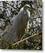 Nesting Egret Metal Print