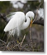 Nesting Great Egret Metal Print