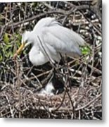 Nesting Great Egret With Chick Metal Print
