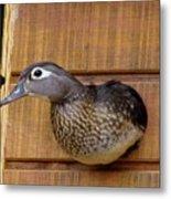 Nesting Hen Wood Duck 1 Metal Print