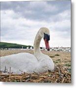 Nesting Mute Swan At Abbotsbury Metal Print
