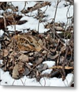 Nesting Woodcock She Survived Her Eggs From The Snow Metal Print
