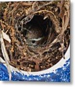 Nesting Wren Metal Print