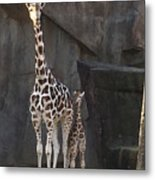 New Baby Giraffe Metal Print