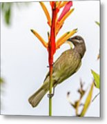 New Caledonia Honeyeater Metal Print