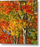 New England Sugar Maples Metal Print