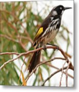New Holland Honey-eater Metal Print