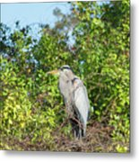 New Nest For Great Blue Heron Metal Print