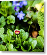 New Season For Bellis Perennis Bellissima Red Metal Print
