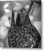 New Zealand Kaka Metal Print
