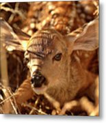 Newly Born Fawn Hiding In A Saskatchewan Field Metal Print