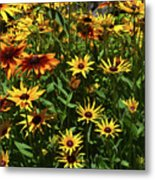 Nice Close Up Of Black Eyed Susans In Nature Metal Print