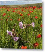 Night Flowering Catchfly And Poppies Metal Print