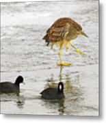 Night Heron With Coots Metal Print