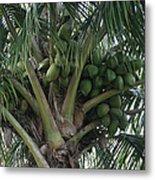 Niu Ola Hiki Coconut Palm Metal Print