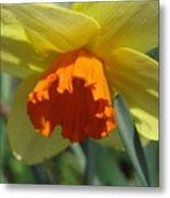 Nodding Daffodil Metal Print