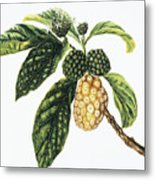 Noni Fruit Metal Print