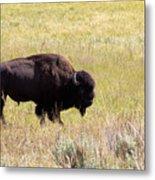North American Bison- Buffalo In Field  Metal Print