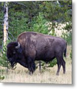 North American Buffalo Grazing Near Edge Of Woods During Late Su Metal Print