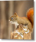 North American Red Squirrel In Winter Metal Print