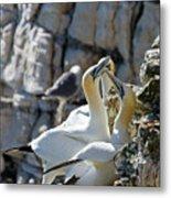 North Atlantic Gannets Metal Print
