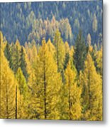 North Idaho Gold Metal Print