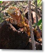 North Seymour Island Iguana In The Galapagos Islands Metal Print