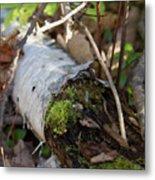 North Woods Mossy Birch Metal Print