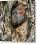 Northern Flicker Pokes His Head Out Metal Print