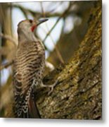 Northern Flicker Woodpecker 1 Metal Print