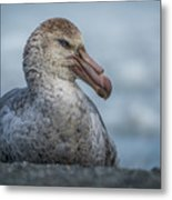 Northern Giant Petrel Sitting On Sandy Beach Metal Print