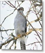 Northern Goshawk Metal Print