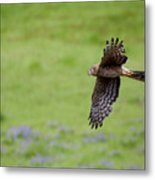 Northern Harrier Fly By Metal Print