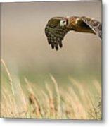 Northern Harrier Hawk Skimming The Fields Metal Print