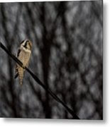 Northern Hawk-owl 22 Metal Print
