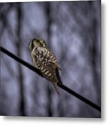 Northern Hawk-owl 6 Metal Print