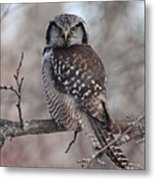 Northern Hawk Owl 9470 Metal Print