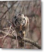 Northern Hawk Owl Having Lunch 9416 Metal Print