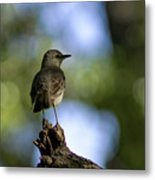 Northern Mockingbird At Quarry Lake Metal Print