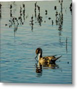 Northern Pintail At The Wetlands Metal Print