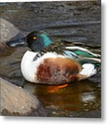 Northern Shoveler Duck Drake Metal Print