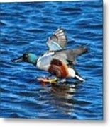 Northern Shoveler Duck Landing Metal Print