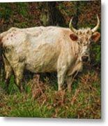 Northumberland Wild Cattle Metal Print
