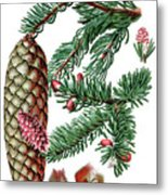 Norway Spruce, Pinus Abies Metal Print