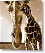 Nosey Giraffe Metal Print