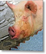 Not A Piglet Anymore Metal Print