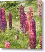 Nova Scotia Lupine Flowers Metal Print