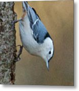 Nuthatch In Profile Metal Print